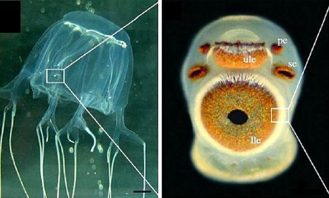 The amazing Box Jellyfish Eye resembles vertebrate eyes with a lens and retina