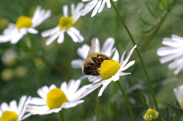 Chamomile Tea is derived from beautiful daisy-like flowers that bees adore