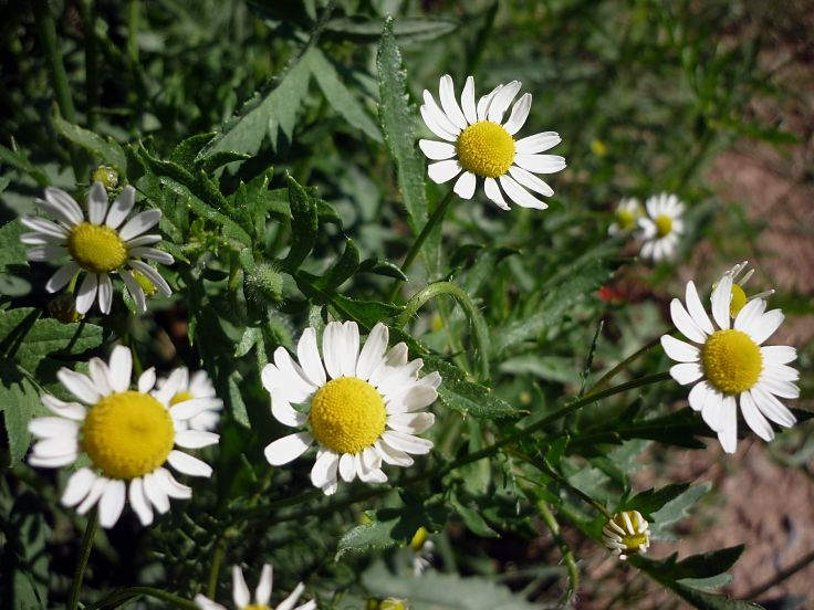 Chamomile is very easy to grow in your garden. Your can do your own thing by collecting and drying the flowers
